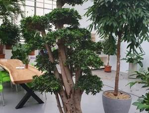 Ficus Microcarpa Ginseng Bonsai 275 300cm Bonzai Kopen