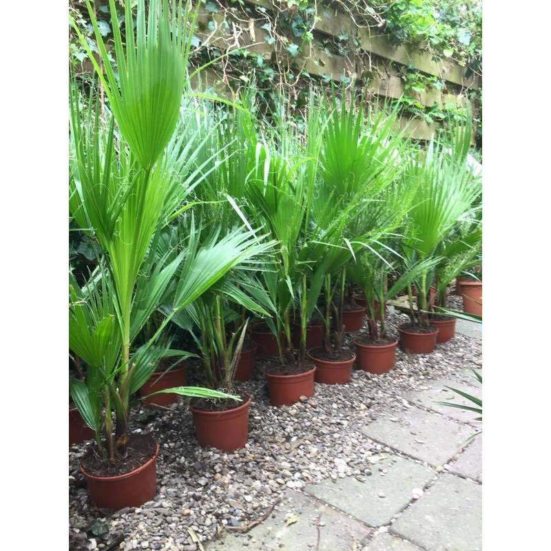 washingtonia robusta verzorging