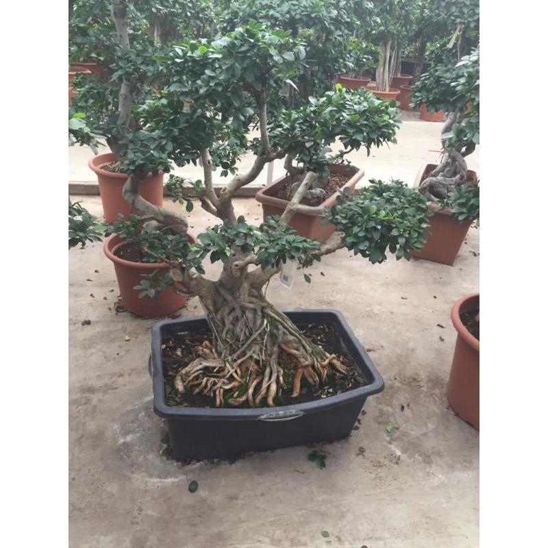 Buy Ficus Microcarpa Ginseng Bonsai 130 140cm