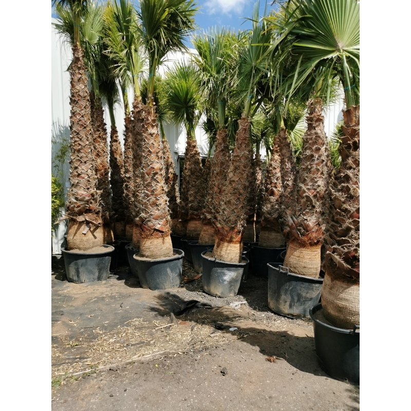 washingtonia robusta snoeien 300+ Stam