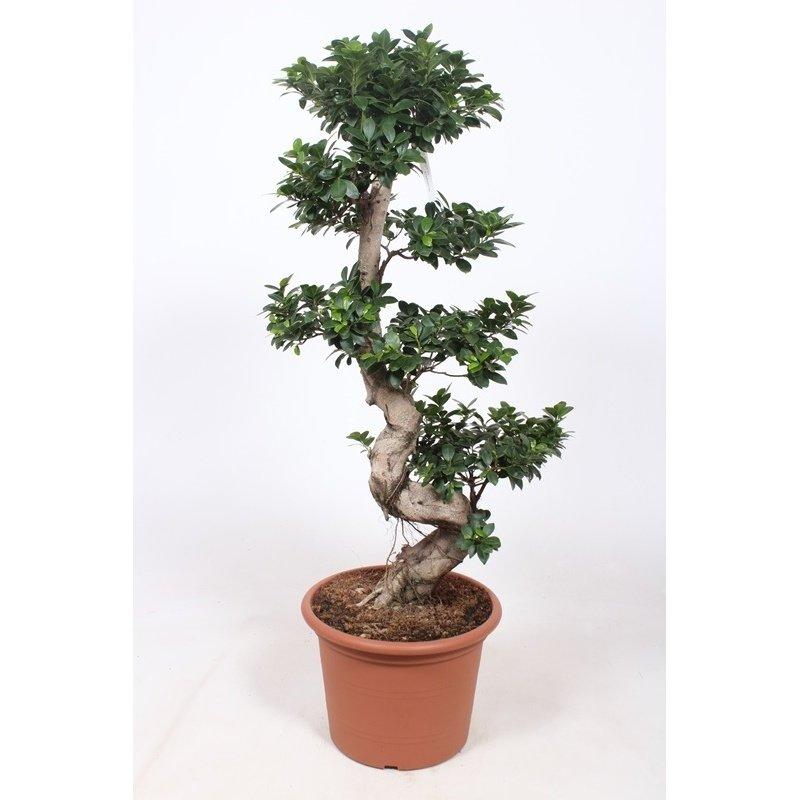 Ficus Microcarpa Ginseng Bonsai Teeninga Palmen